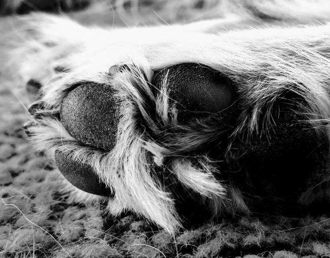 Hundepfote / Nahaufnahme